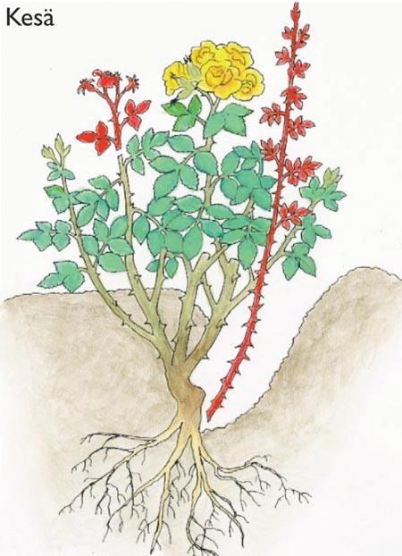 Ruusujen Leikkaus